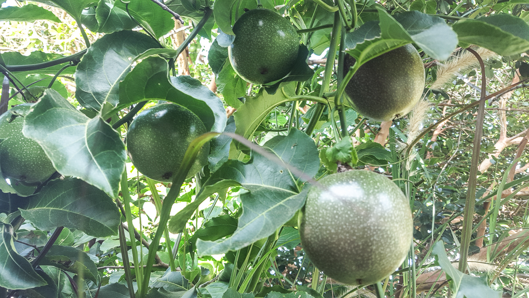 Passionfruit Tree 1