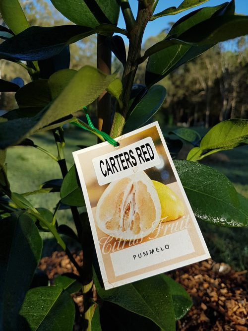 Pummelo Carters Red Citrus Tree